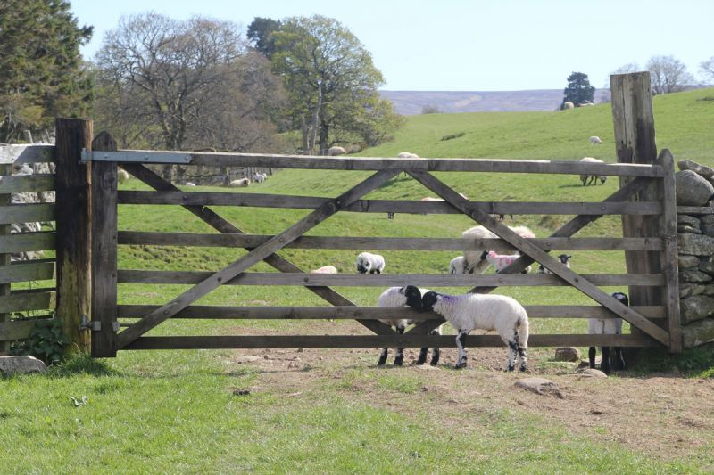 Pennine Way, gateway with lambs