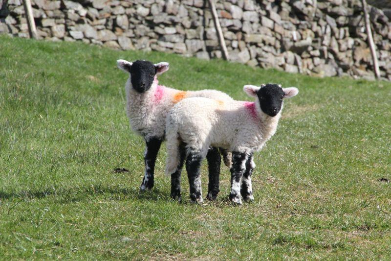 Lambs on the Pennine Way, Alston
