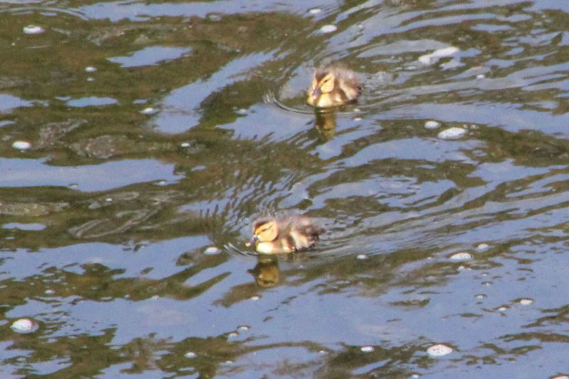 ducklings on the South Tyne