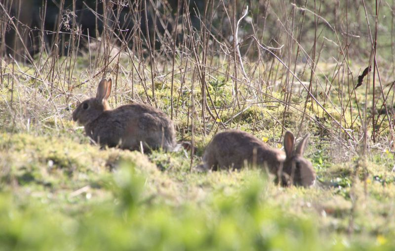 wild rabbits beside the South Tynedale railway